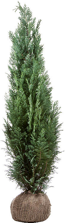 Chamaecyparis lawsoniana 'Columnaris' pot 125/150 cm