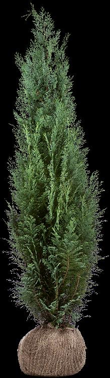 Chamaecyparis lawsoniana 'Columnaris' kluit 125/150 cm