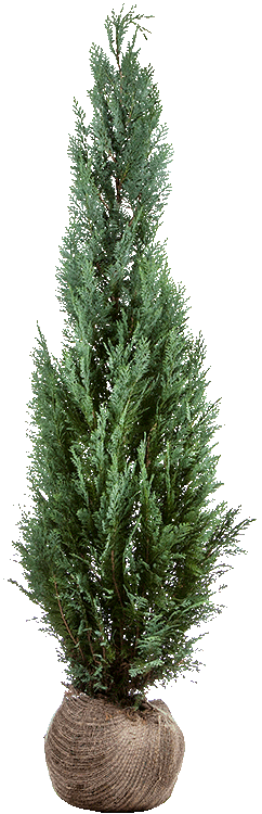 Chamaecyparis lawsoniana 'Columnaris' kluit 150/175 cm