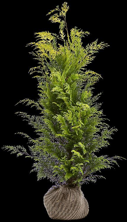 Chamaecyparis lawsoniana 'Stardust' kluit 100/125 cm