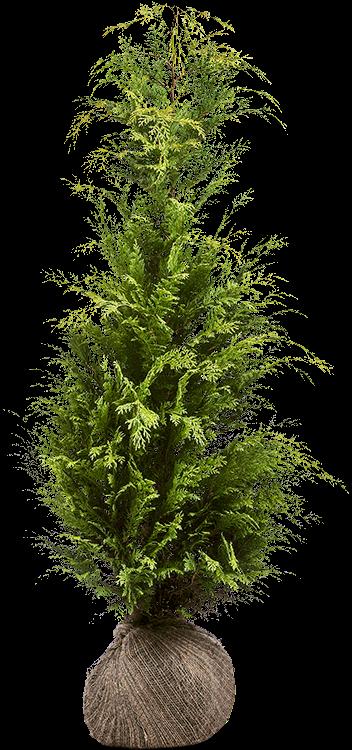 Chamaecyparis lawsoniana 'Stardust' kluit 125/150 cm
