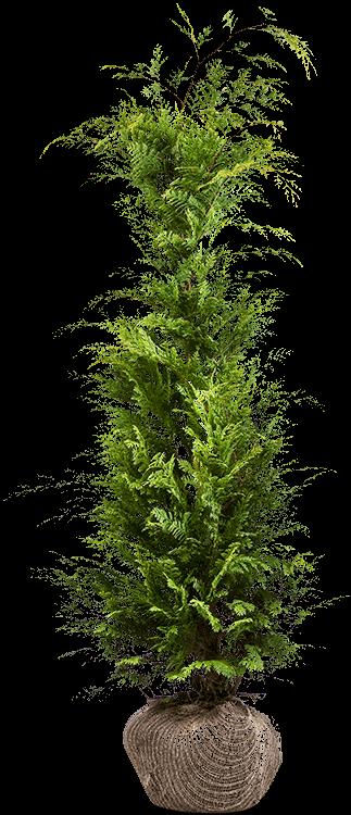 Chamaecyparis lawsoniana 'Stardust' kluit 150/175 cm