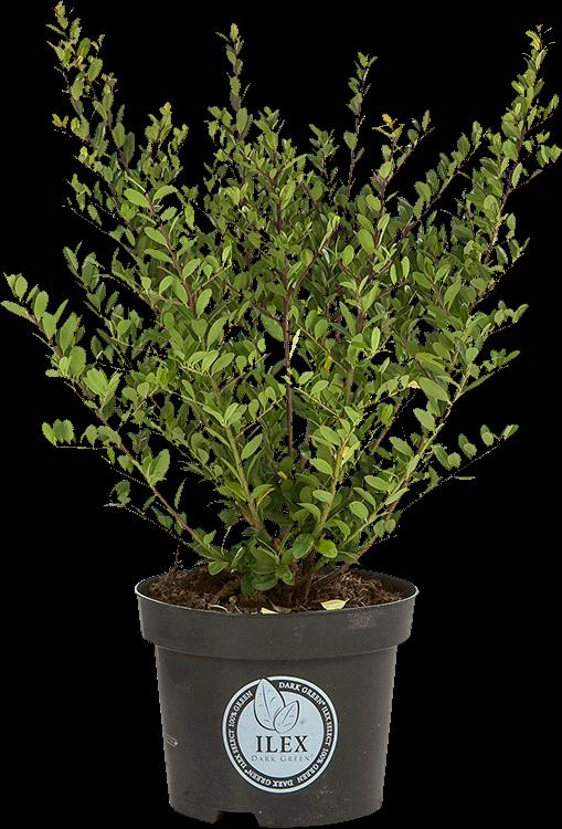 Ilex crenata 'Dark Green' pot 3 liter 30/40 cm