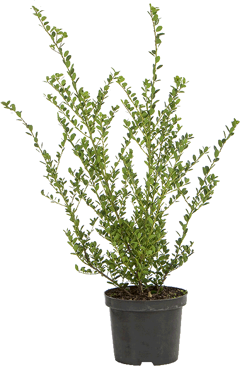 Ilex crenata 'Green Hedge' pot 3 liter