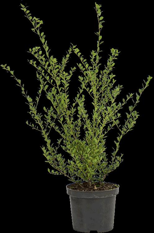 Ilex crenata 'Green Hedge' pot 2 liter 25/30 cm