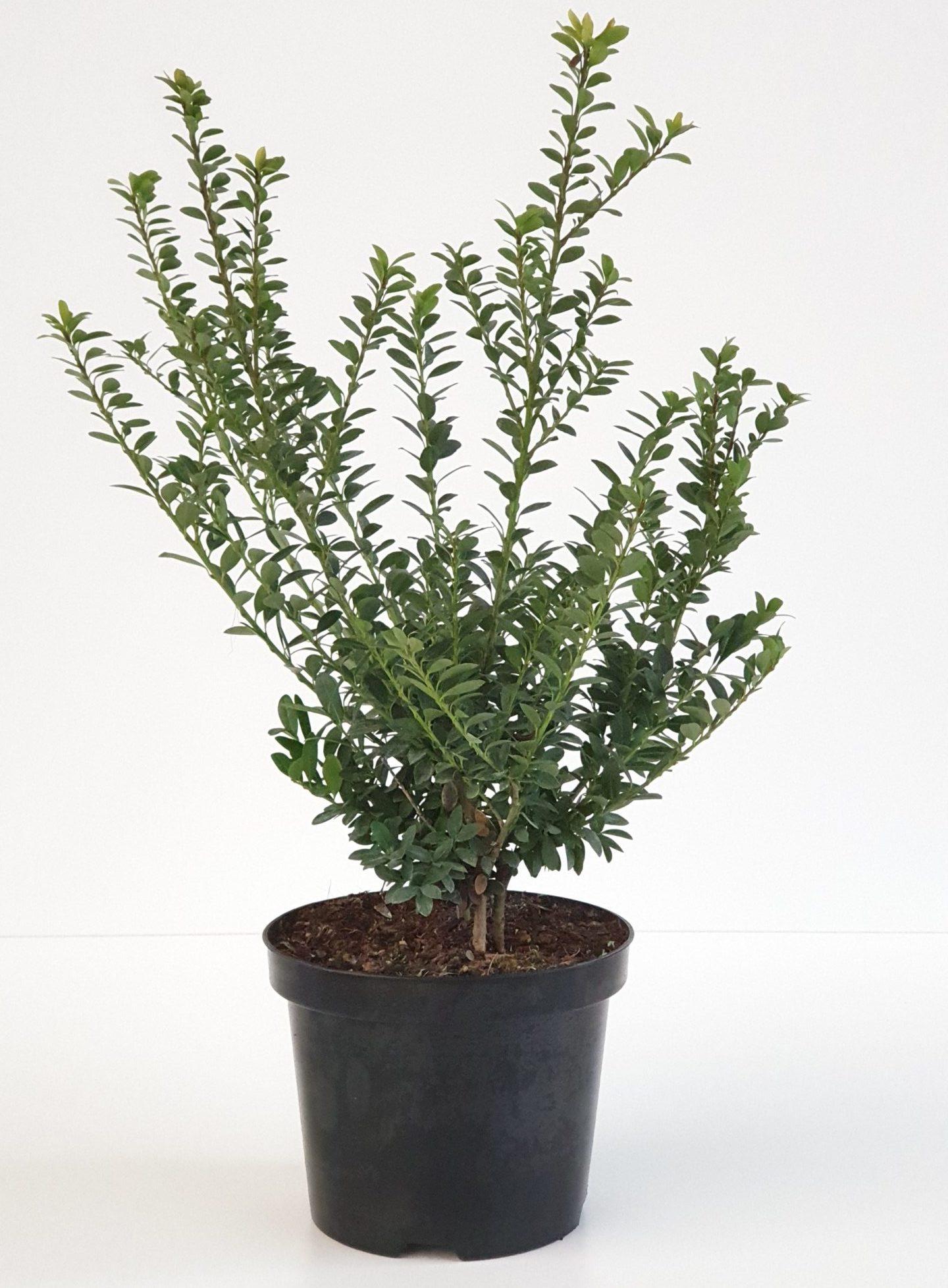 Ilex crenata 'Dark Green' pot 1 liter 15/20 cm