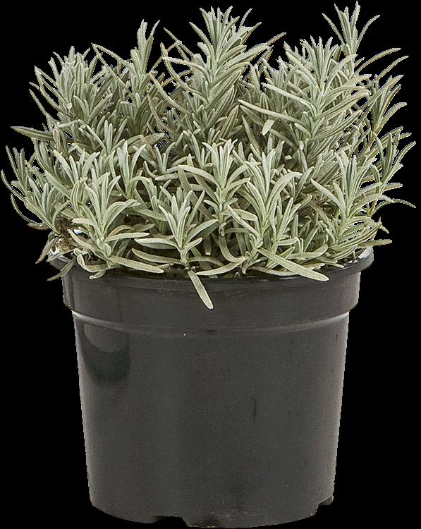 Lavandula angustifolia 'Silver Mist' pot 1.5 liter