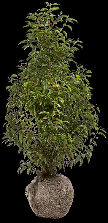 Prunus lusitanica 'Angustifolia' 80/100 cm