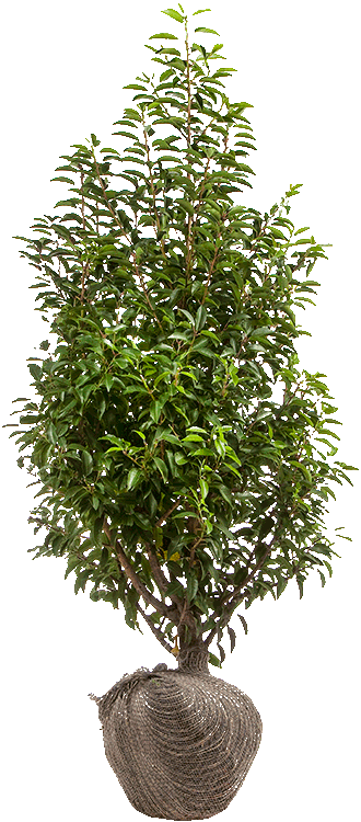 Prunus lusitanica 'Angustifolia' 125/150 cm