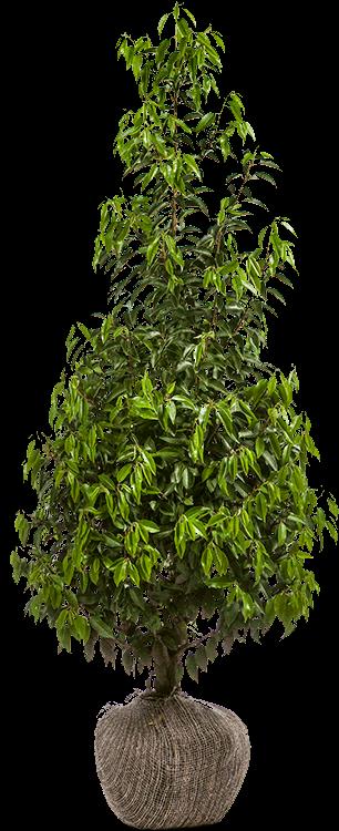 Prunus lusitanica 'Angustifolia' 150/175 cm