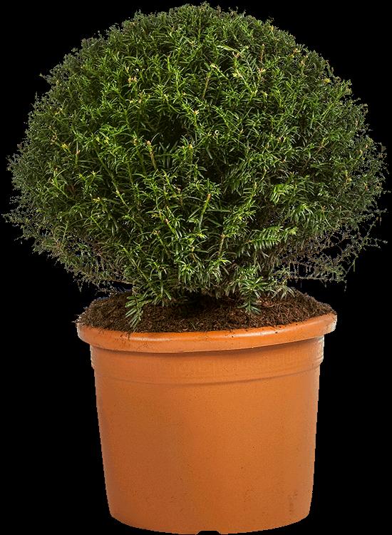 Taxus baccata bol 60 cm