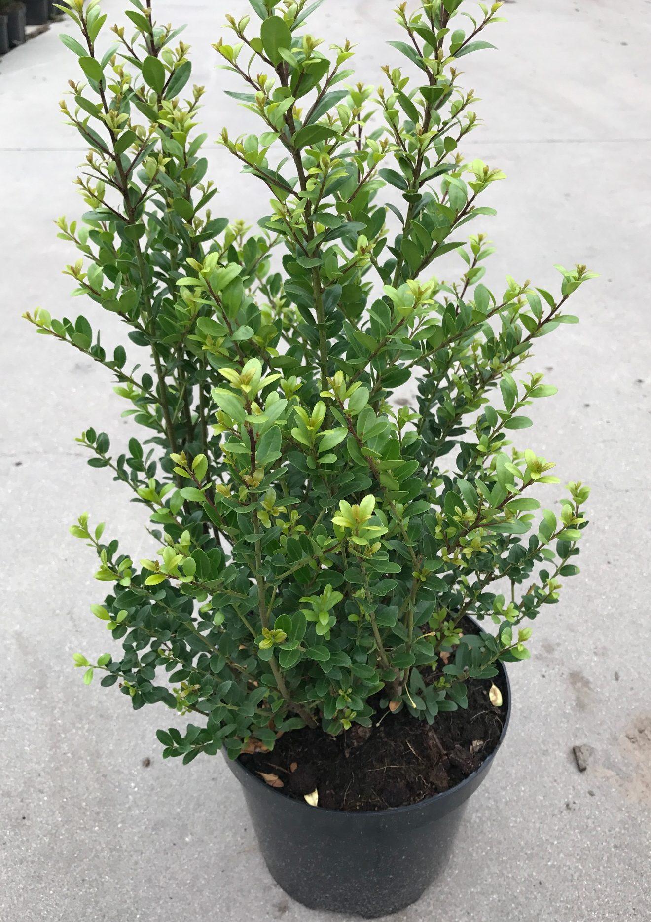 Ilex crenata 'Dark Green' pot 5 liter 50/60 cm