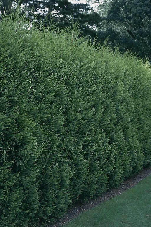 Cupressocyparis leylandii draadkluit 3 m