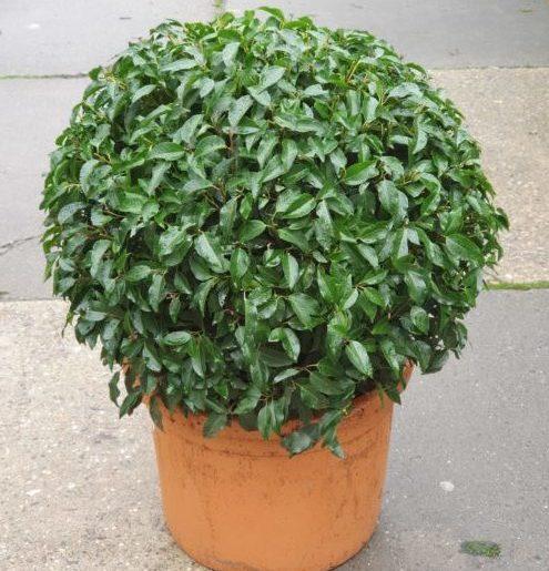 Prunus lusitanica 'Angustifolia' bol 80 cm