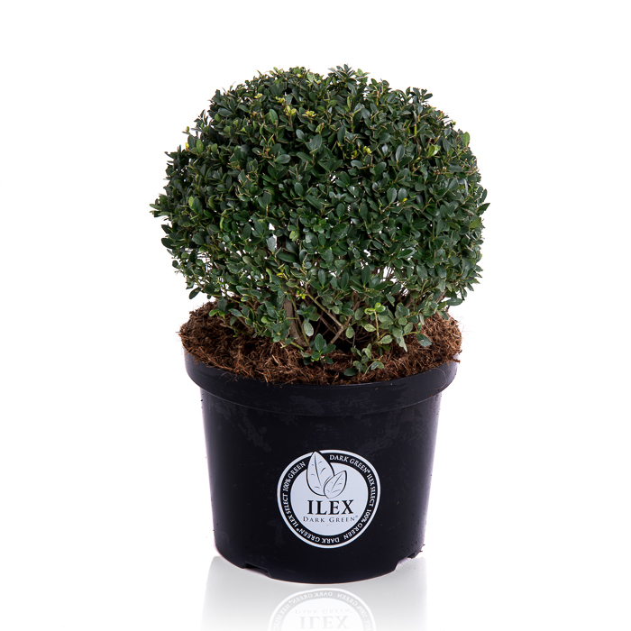 Ilex crenata 'Dark Green' bol 30 cm