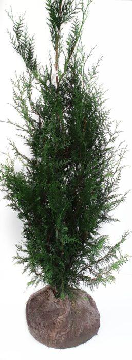 Thuja plicata 'Atrovirens' kluit 175/200 cm