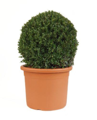 Ilex crenata 'Dark Green' bol 50 cm