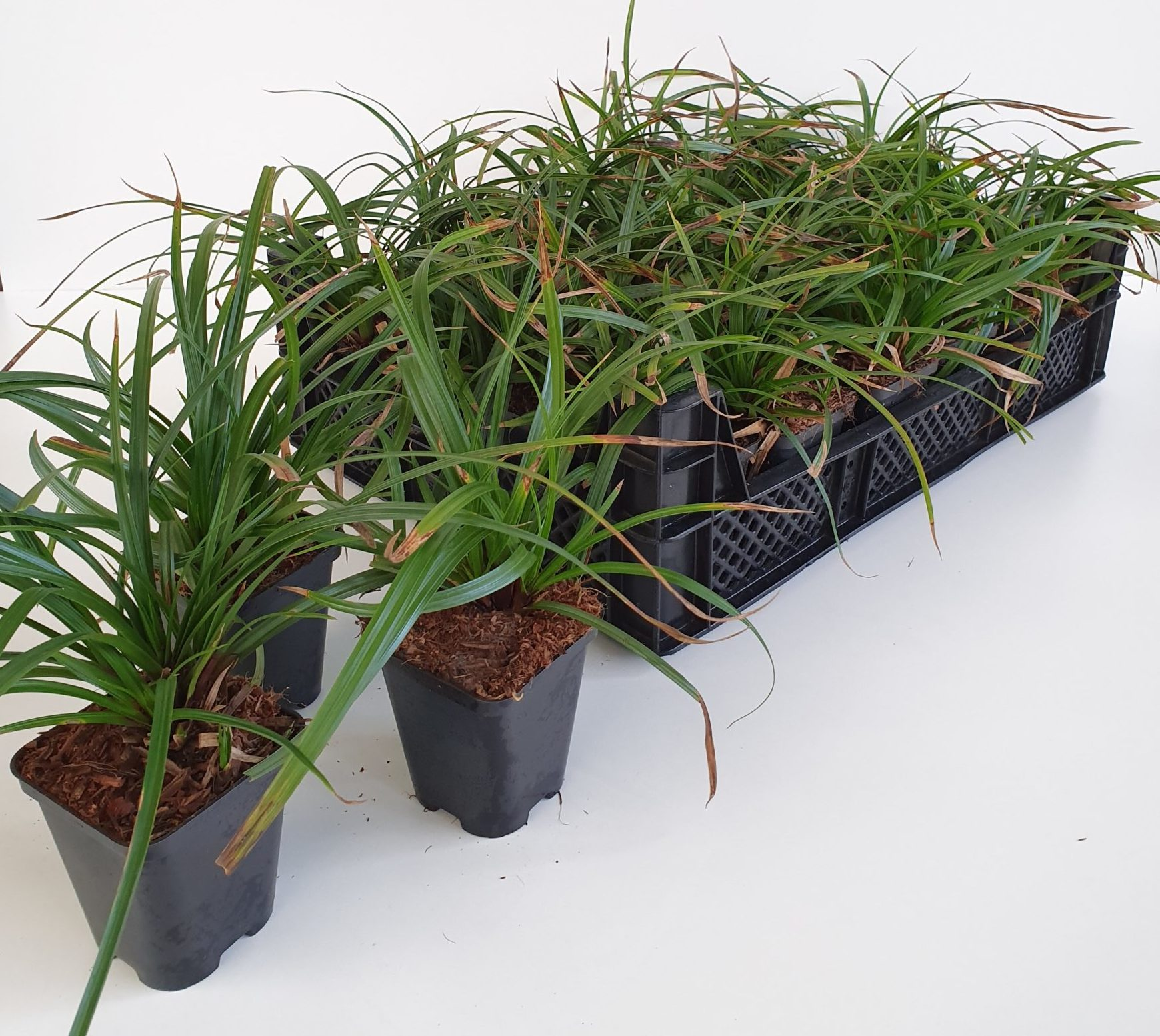Carex 'Irish Green ' pot 9 cm