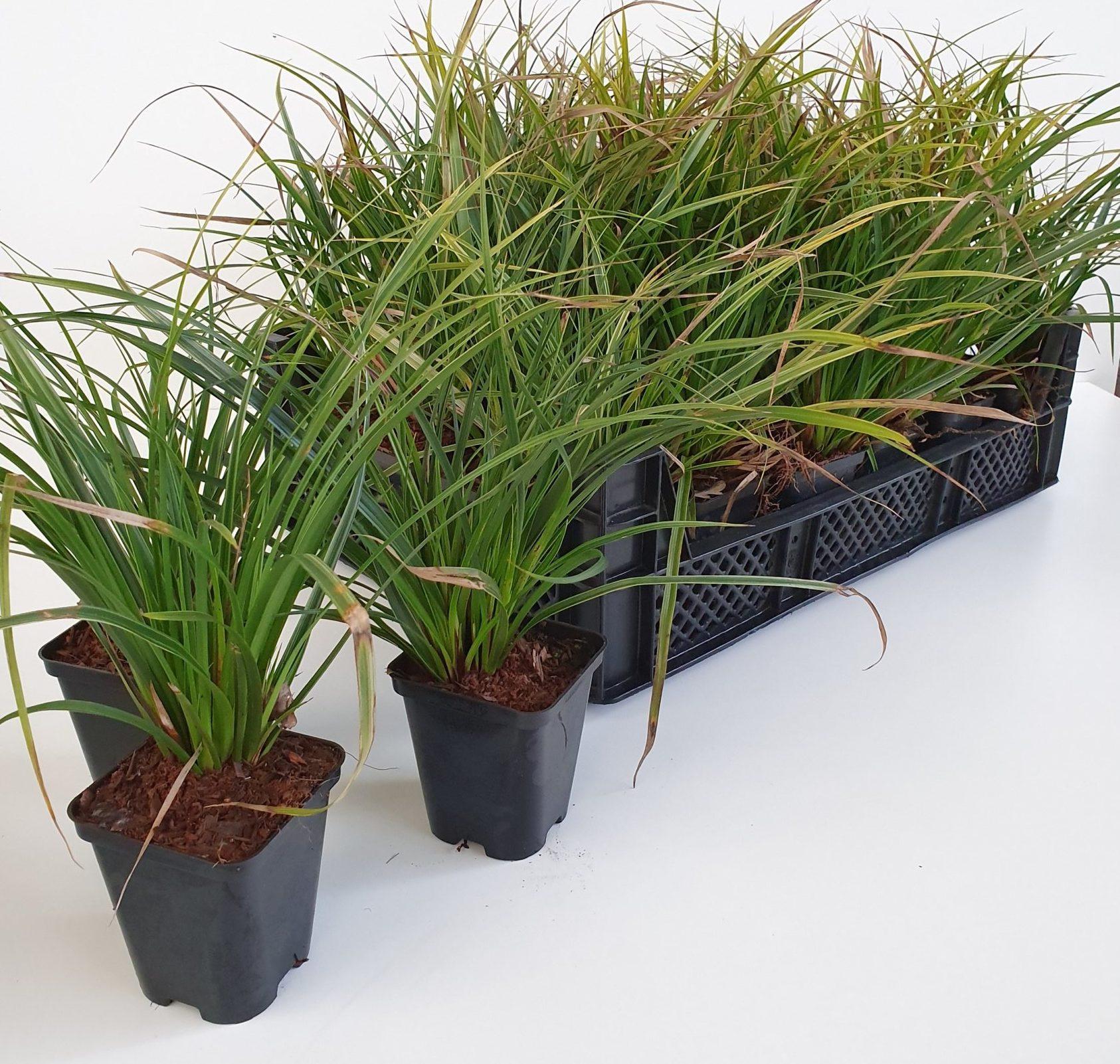 Carex morrowi 'Variegata' pot 9 cm