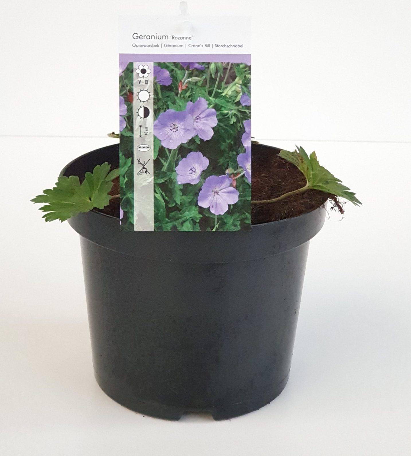 Geranium 'Rozanne' pot 3 liter
