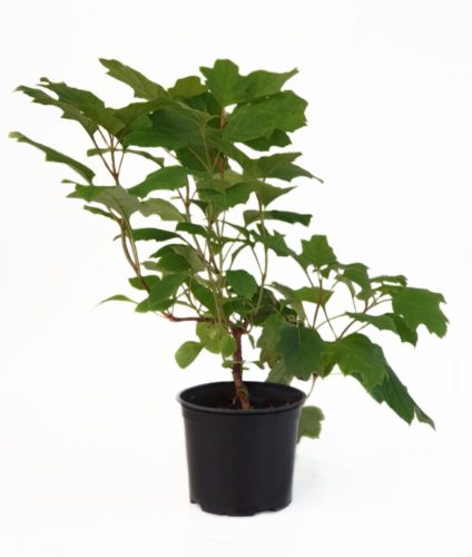 Hydrangea quercifolia pot 3 liter