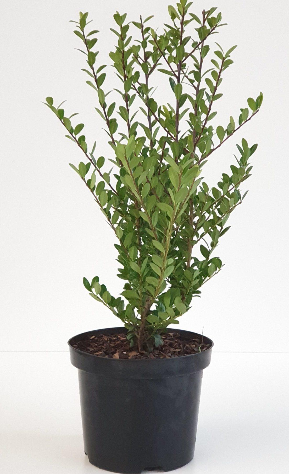 Ilex crenata 'Caroline Upright' pot 2 liter 30/40 cm