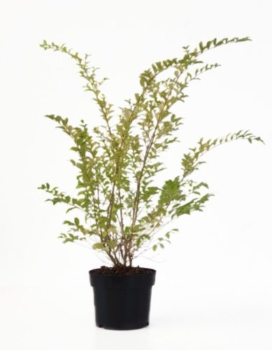 Ligustrum ovalifolium 'Lemon and Lime' pot 2 liter