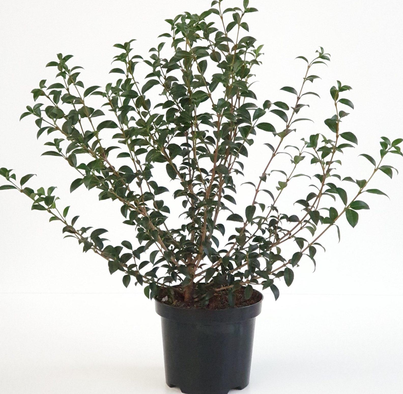 Osmanthus burkwoodii pot 3 liter 50/60 cm