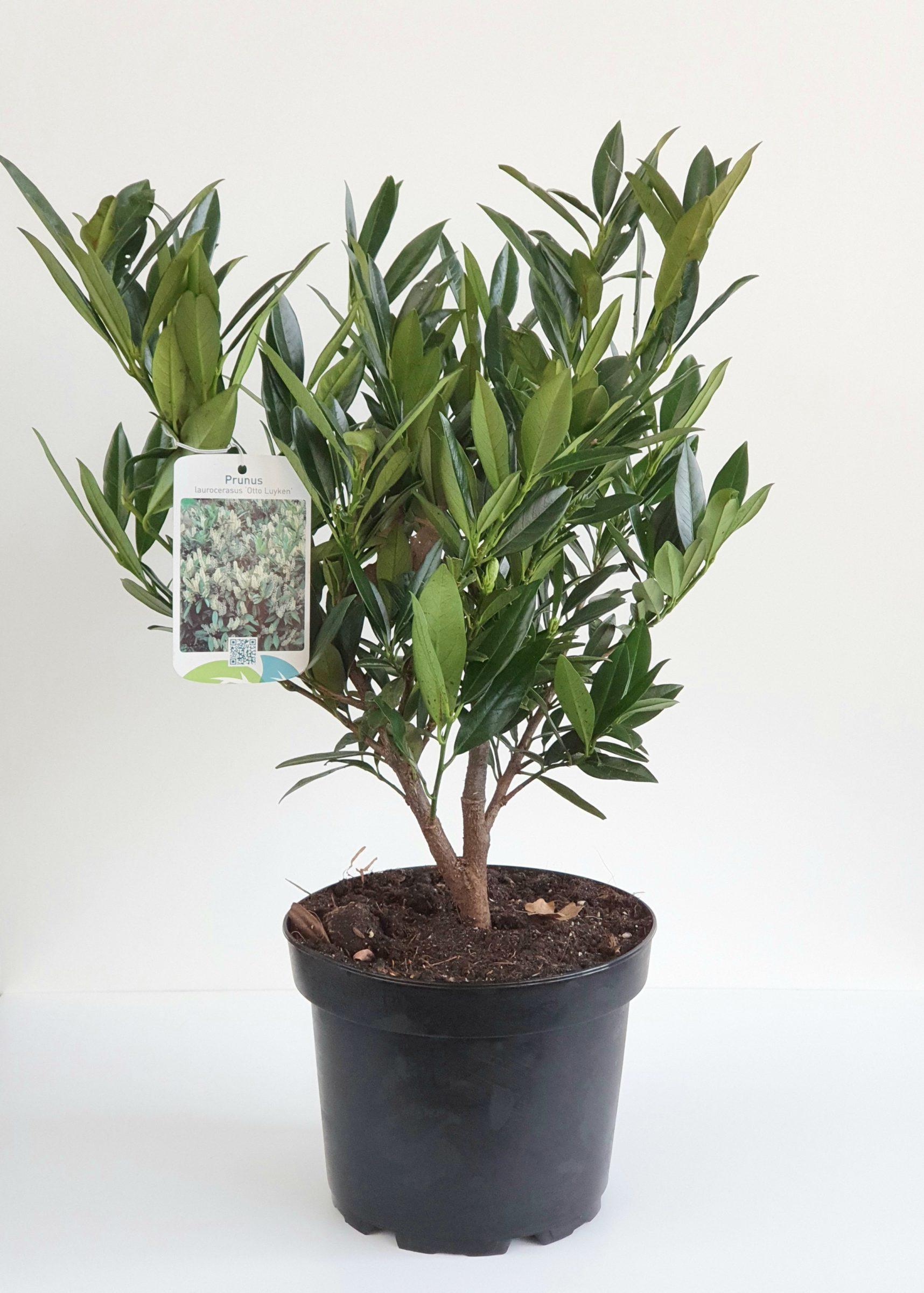 Prunus laurocerasus 'Otto Luyken' pot 3 liter 25/30 cm