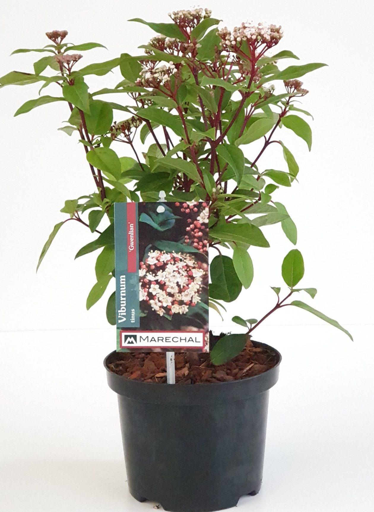 Viburnum tinus 'Gwenllian' pot 2 liter