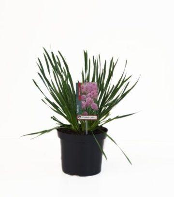 Allium 'Millenium' pot 3 liter