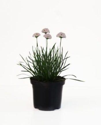 Allium senescens 'Sugar Melt' pot 3 liter