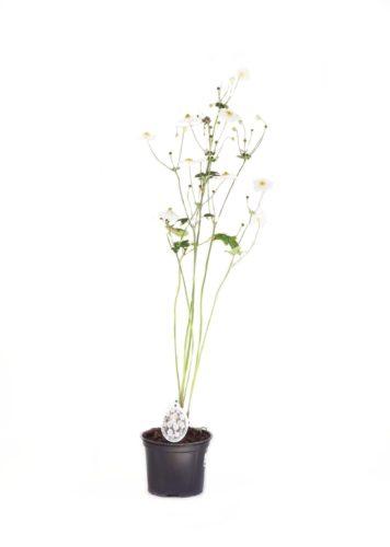Anemone hybr. 'Honorine Jobert' pot 2 liter