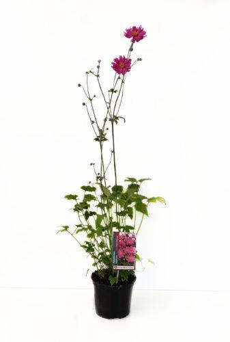 Anemone hupehensis 'Prinz Heinrich' pot 2 liter