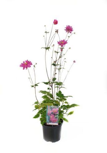 Anemone hybrida 'Rotkäppchen' pot 2 liter