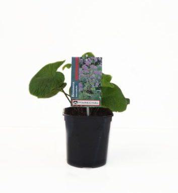Brunnera macrophylla pot 2 liter