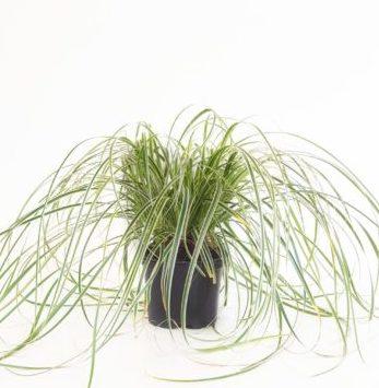 Carex 'Feather Fall's' pot 2 liter