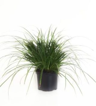 Carex morrowi 'Ice Dance' pot 2 liter