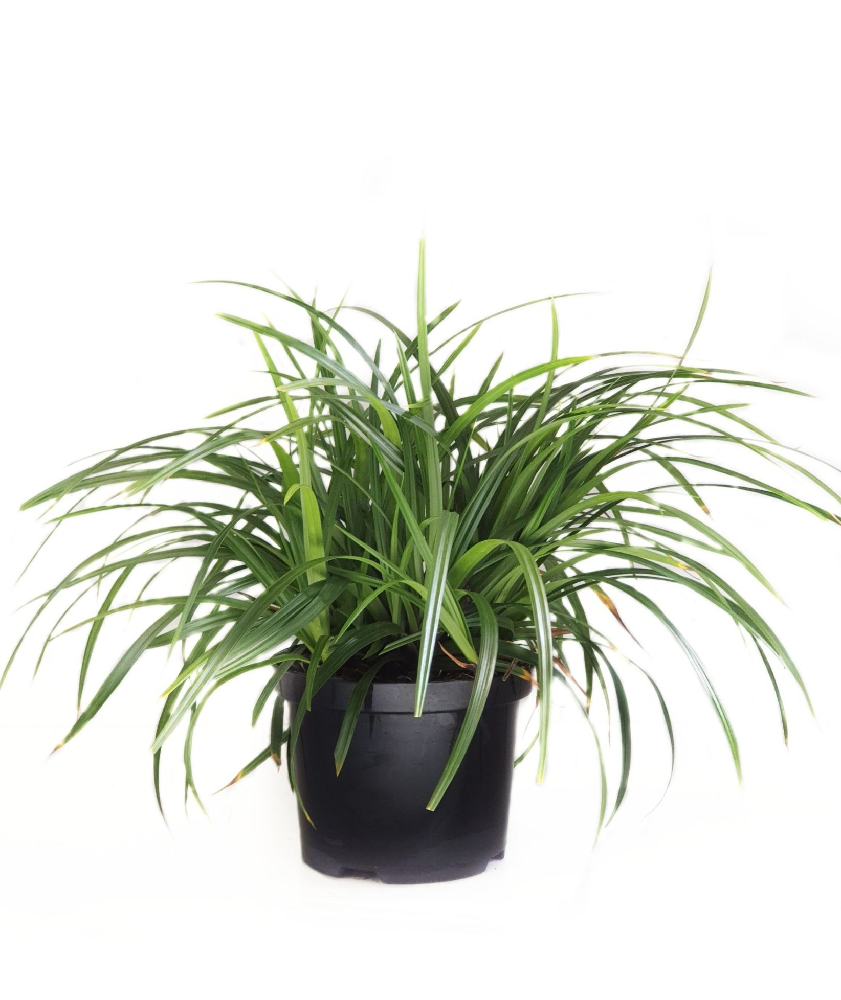 Carex 'Irish Green' pot 2 liter