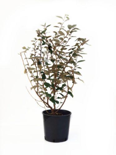 Elaeagnus ebbingei pot 10 liter 80/100 cm
