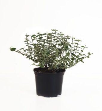 Euonymus fortunei 'Emerald 'n Gaiety' pot 2 liter 15/20 cm