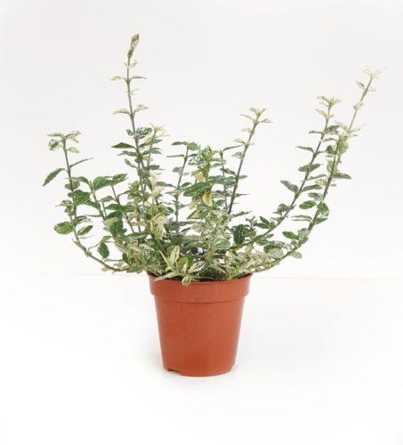 Euonymus fortunei 'Harlequin' pot 2 liter 20/25 cm