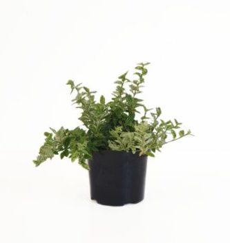 Euonymus fortunei 'Harlequin' pot 1.5 liter 20/25 cm