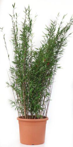 Fargesia nitida 'Black Pearl' 125/150 cm