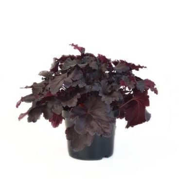 Heuchera 'Black Pearl' pot 3 liter