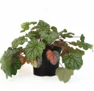 Heuchera 'Green Spice' pot 2 liter