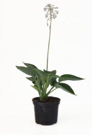 Hosta sieboldiana 'Elegans' pot 3 liter