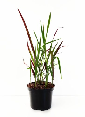 Imperata cylindrica 'Red Baron' pot 2 liter