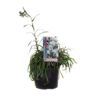 Leontopodium alpinum pot 2 liter
