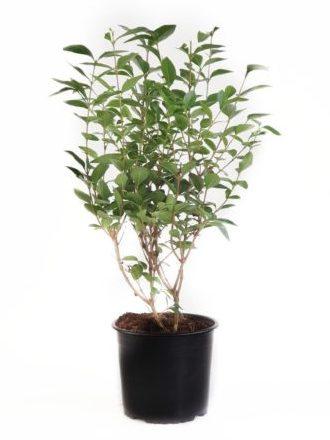 Ligustrum ovalifolium pot 3 liter